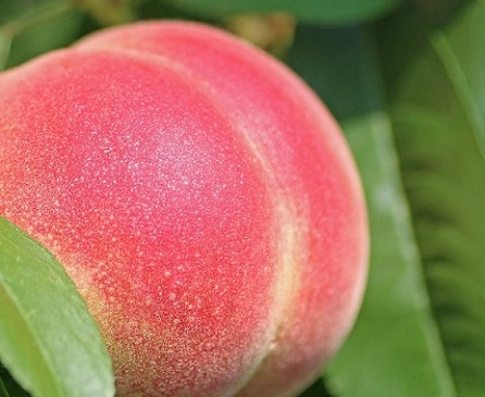 Reifer Pfirsich in knalligem Rot und der Form eines Hintern.